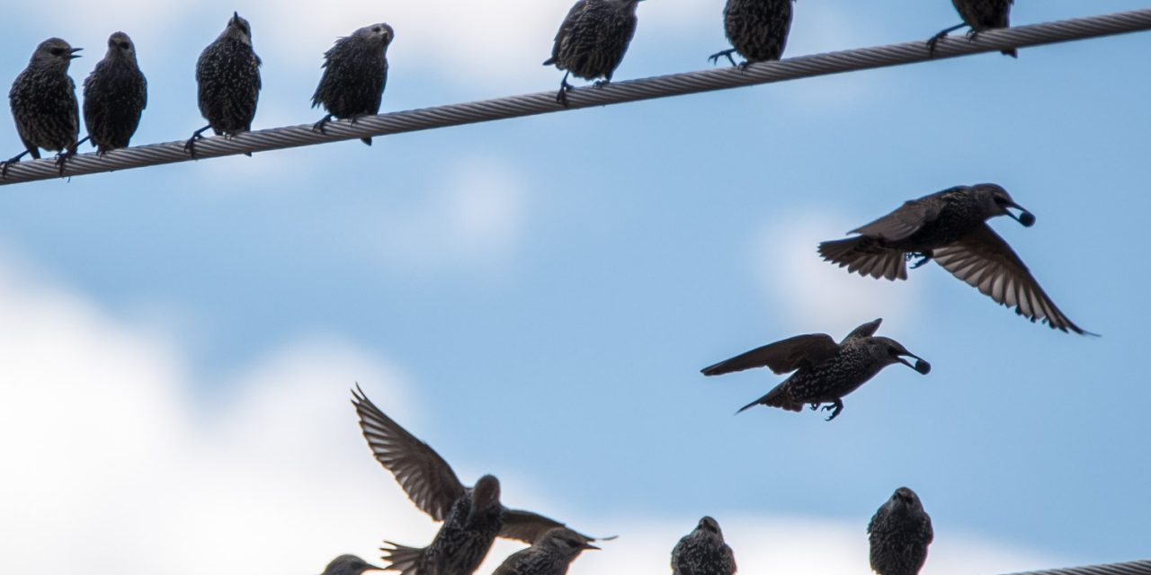 Trapping continues for invasive starlings