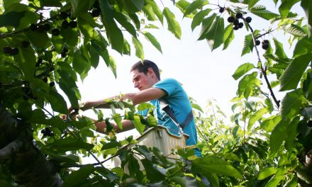 Record cherry crop on the way