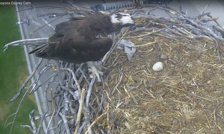 Newly-hatched osprey passes away