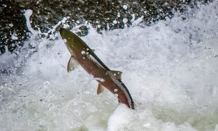 Bad year for sockeye means no rec fishery